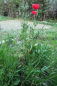 何が出るやらお楽しみ、春の畑とイタリア在住15年・ブログ7年記念日 - ペルージャ イタリア語・日本語教師 なおこのブログ - Fotoblog da Perugia