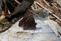 コツバメ 4月4日 岐阜県にて - 超蝶