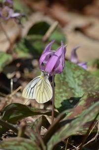 スジグロシロチョウ 4月4日 - 超蝶