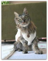 ご長寿猫 はんぞう との暮らし 「3月16日~3月20日の はんぞう」 - たびねこ