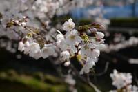 満開はまだ 三沢川の桜 - M8とR-D1写真日記