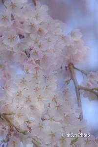 桜色 - 季節のおくりもの
