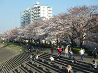 鶴見川土手の桜並木も見頃になってきました。 - ご無沙汰写真館