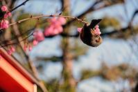 桜にヒヨドリが・・・ - ちょっとそこまで
