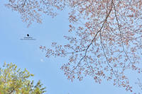 山桜と月 - お花びより
