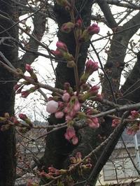 桜 サクラ cherry - NANTUCKET &KK ナンタケットバスケット制作教室blog♪