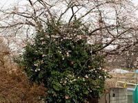 桜 椿 - エンジェルの画日記・音楽の散歩道