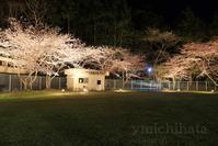 夜桜ライトアップ - みちはた写真館フォトギャラリー