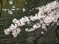 武蔵野・吉祥寺・井の頭公園 桜開花情報 - FASHIONSCAPE-TOWNSCAPE