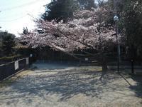 新池の桜は・・・・? - 舞ときらりと琴