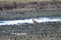 ホウロクシギ(焙烙鷸) ② - azure 自然散策 ~自然・季節・野鳥~