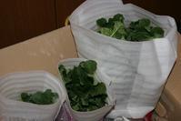 ルバーブの植え付け - 今夜の夕食