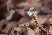 冬枯れの林の中にひっそりと咲くセリバオウレン(キンポウゲ科オウレン属) - 上州自然散策2