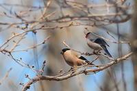 桜が咲くまで居て欲しいウソ - 上州自然散策2