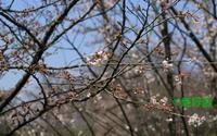2017年04月04日 狭山丘陵だより さくら - 愛野緑の撮影記録
