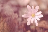 ユキワリイチゲ - 僕の足跡