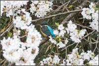 二ヶ領用水〜多摩川-その②・ペアのカワセミ・柳にシジュウカラ - ココカメラ【であいの・き】