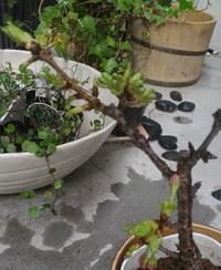 ■うちの鉢植えの桜■ - ちょこっと陶芸