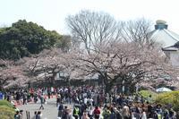 東京の都市伝説、桜の標本木は老木なので、他の桜よりも開花が、超・早い(千代田区、九段) - 旅プラスの日記