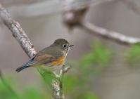 ルリビタキ - 今日も鳥撮り