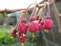 我が家の枝垂れ 開花宣言 - 島暮らしのケセラセラ
