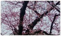 flor del cerezo  y  Wi-Fi - Mexico, cielo despejado