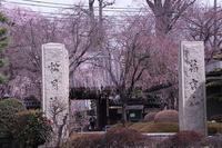 松月院の枝垂れ桜と、モクレン - 子猫の迷い道Ⅱ