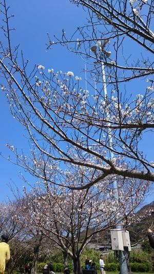 花見   2017 - ス ミ レ