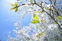 白い桜 - ねこのあくび