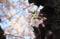 宮原の桜 - さいたま日乗