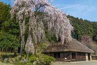 高麗の里の桜咲く - デジカメ写真集