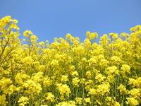 春の黄色の花の名前は菜の花 - ありがとう