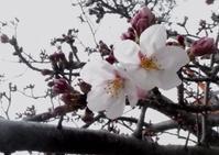 有馬でも桜が咲き始めました - ネコトクラス