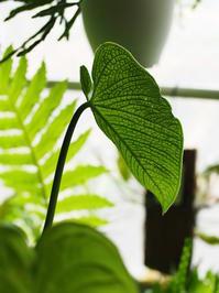 アンスリウム・ルグローサム #2 - Blog: Living Tropically