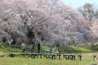 大宮公園 私のベスト桜写真 (2) - さいたま日記