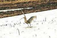 ホウロクシギー3 - barbersanの野鳥観察