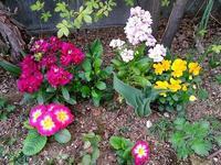プリムラジュリアン - 美鈴とトラと私とお庭