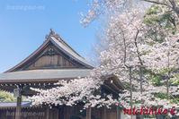 満開の桜 靖国神社標本木 - 風景写真家 鐘ヶ江道彦のフォトブログ