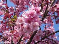 桜便り & 桜色のアイシングクッキー - nanako*sweets-cafe♪
