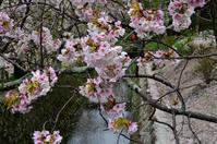 桜の花咲く哲学の道 - 写真の散歩道