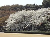 皇居外苑の桜とフルーツいっぱいのイタリアンランチ✿ - ひなたぼっこ