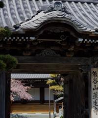 蓮生寺さんのしだれ桜と熊谷直実の家紋向鳩 - 蓮華寺池の隣5