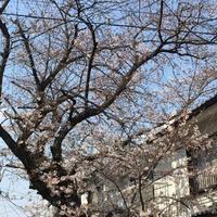 桜咲く - ひびののひび