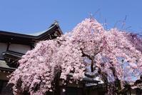 氷室神社の枝垂れ桜(1)@2017-04-04 - (新)トラちゃん&ちー・明日葉 観察日記