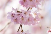 氷室神社の枝垂れ桜(2)@2017-04-04 - (新)トラちゃん&ちー・明日葉 観察日記