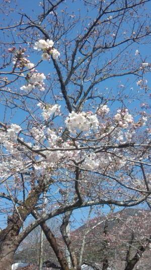 信之介さま・徒然通信  <秋月の桜> - ヤスコヴィッチのぽれぽれBLOG