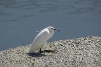bird*43  コサギお座り - primary feather
