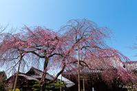 京都の桜 2017 〜法金剛院〜 - ◆Akira's Candid Photography