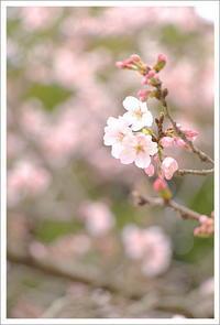 桜 さくら - なないろ模様