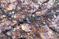 桜と カワセミ - サカナのおカオ